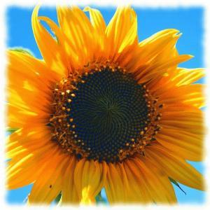 yellow-sunflower-403172_640.jpg